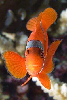 Clownfish Photo by Volkan Yenel Underwater Creatures, Underwater Life, Ocean Creatures, Saltwater Fish Tanks, Saltwater Aquarium, Aquarium Fish, Beautiful Sea Creatures, Animals Beautiful, Colorful Fish