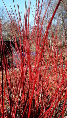 Cornus alba 'Sibirica' (Red Twig Dogwood); great for winter interest  Looks great in tall outdoor container on your porch or front step in the winter.