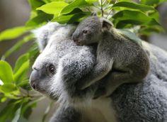 Coala de seis meses anda nas costas de sua mãe no jardim zoológico de Duisburg, na Alemanha.   Foto: Frank Augstein/Associated Press