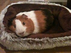 Cavia's vinden het heerlijk om in een mandje te liggen: http://www.wesdijk.nl/3977-bedden-manden
