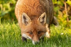 Do Foxes Smell | Scent Marking Fox Information, Skunk Smell, Urine Smells, Fennec Fox, Pet Fox, Animal Games, Playpen, Foxes, Beautiful Creatures