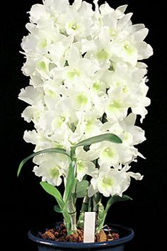 Den.Spring Dream 'Apollon' https://www.houseplant411.com/houseplant/orchids-how-to-grow-care