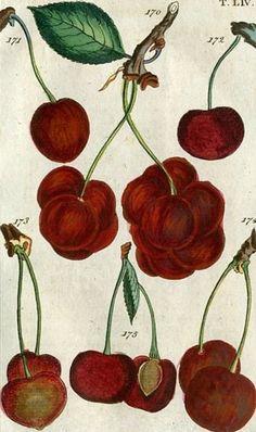 Cherry -- Gottlieb Tobias Wilhelm -- 1810