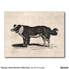 Vintage 1800s Collie Dog Illustration Postcard