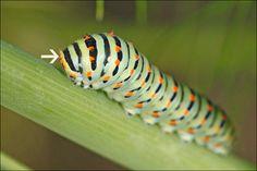 Premiers stades de la chenille du papillon Machaon! O,n vient d'en trouver une dans le jardin!