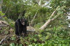 SOS for Ponso  Who is Ponso: Ponso is a 40+ year old male chimpanzee.  He was born in Liberia. He was orphaned at a young age  and used in viral research, part of the VILAB II project of the New ork Blood Center (NYBC).  In 1983, Ponso and 19 other chimps were relocated to an island, close to Aza...