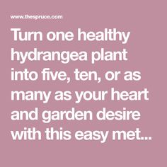 Turn one healthy hydrangea plant into five, ten, or as many as your heart and garden desire with this easy method of propagation.
