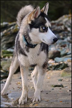 Siberian Husky - I hope I can have a dog like this someday. <3