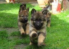 German shepherd puppy stampede!!