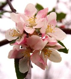 The apple blossom was adopted as the Arkansas State Flower by the General Assembly of 1901.