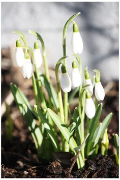 A favorite sign of spring. Snow drops