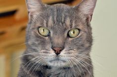 1/24/17 * Meet Denny, an adoptable Domestic Short Hair-gray looking for a forever home. * Cat • Domestic Short Hair-gray & Tiger Mix • Adult • Male • Medium  Seminole County Animal Services Sanford, FL *  Denny is a handsome 8 year old male. He came to the shelter because his owner could no longer care for him. He's a super sweet guy! Just look at his pose for the camera. Denny is DECLAWED so he must be an INSIDE ONLY kitty.