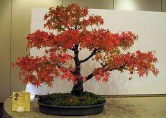 Google Image Result for http://www.bonsaitreegardener.net/wp-content/gallery/japanese-maple/japanese_maple_bonsai2.jpg