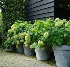 7 best Hydrangeas in Pots images on Pinterest   Hydrangea ...