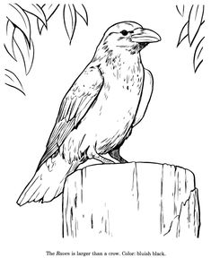Raven drawing and coloring page