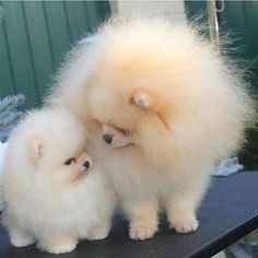 Delightful Comical And Sweet Pomeranian Ideas. Charming Comical And Sweet Pomeranian Ideas. Cute Baby Animals, Animals And Pets, Funny Animals, Cute Puppies, Cute Dogs, Dogs And Puppies, Doggies, Puppies Gif, Beautiful Dogs