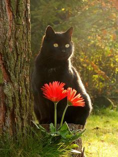 Beautiful Black Cat with Orange Gerber Daisies by A Texas Girl's Favorites Pretty Cats, Beautiful Cats, Animals Beautiful, Cute Animals, Pretty Kitty, Cool Cats, I Love Cats, Cute Kittens, Cats And Kittens