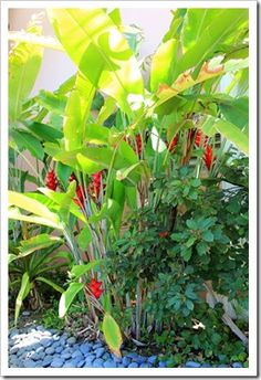 Heliconia caribaea garden - river rock idea