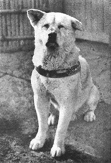 Picture of Hachikō:   Species-Dog,   Breed-Akita Inu,   Sex-Male,   Born	November 10, 1923    near the city of Ōdate, Akita Prefecture  Died	March 8, 1935 (aged 11)  Shibuya, Tokyo.   Resting place-National Science Museum of Japan in Ueno, Tokyo.  Nation from-Japan.   Known for-waiting for the return of his deceased owner.   Owner-Hidesaburō Ueno.   Appearance-golden brown with cream color on upper face