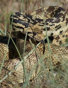 Bull snakes are very powerful constrictors who eat small mammals, such as mice, rats, pocket gophers, ground squirrels, and rabbits, as well as ground nesting birds, birds' eggs and lizards.