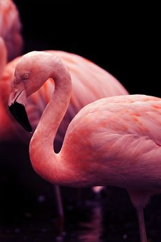 Flamingo--love their color and grace. Pretty Birds, Beautiful Birds, Pretty In Pink, Animals Beautiful, Beautiful Things, Flamingo Art, Pink Flamingos, Fat Bird, Ostriches