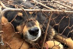 Disgusting and must be stopped HSI: End The Dog Meat Trade