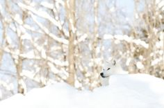 Winter Wolf (by affinity579)