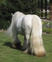 Image result for gypsy vanner horses