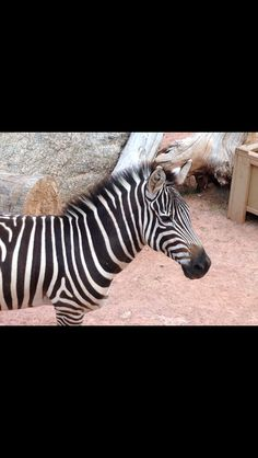 Photo of a zebra I took at the Cheyenne mountain zoo in Colorado. :D
