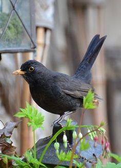 Mr Blackbird a regular visitor.