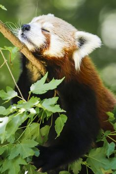 Red Panda by Megan Morrison