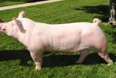 Raza Yorkshire, Pig Breeds, Small Towns, Animal Photography, Farm Animals, Animal Pictures, American, Pigs, Homesteading