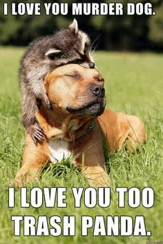 """This is absolutely hysterical. I have rehabilitated raccoons and I think """"trash panda"""" is adorable. As for pibbles, I had a pibble whom I love greatly and he was made of nothing but love. We used to joke about the breed history all the time. No problem with any of this. It is said with the greatest respect and love. Just look at the two of them."""