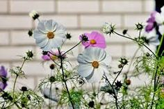 cosmos flowers images - Google Search Rock Garden Plants, Garden Planters, Cosmos Flowers, Red Flowers, Flower Images, Flower Pictures, Flowers For Algernon, Beautiful Flowers Pictures, Photo Libre