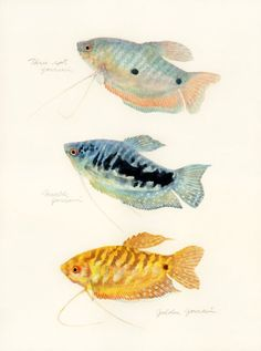 i had no idea what bullies Gouramis can be until the male peeled the flesh off the female. it made me wish i still had some Oscars to feed him to Tropical Freshwater Fish, Freshwater Aquarium Fish, Tropical Fish, Oscar Fish, Fish Drawings, Fishing Pictures, Beautiful Fish, Exotic Fish, Fish Art