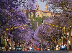 Jacaranda trees in bloom, Pretoria (CBD) in IGauteng, South Africa