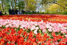 Keukenhof garden - Holland www.aruralchiclifestyle.com Amsterdam Travel, Holland, Trips, Garden, Outdoor, The Nederlands, Viajes, Outdoors, Garten