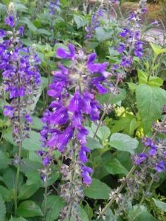 Salvia - Blooming in the Gardens Today 6-04-2013