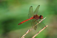 Reflected  in the dragonfly's eye --  mountains.        Haiku by Kobayashi Issa (1763 - 1828)