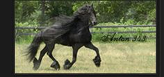 The most beautiful horses on earth in looks and action. The amazing Fresian Horse.