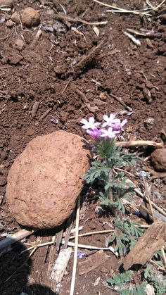 Desert flower...