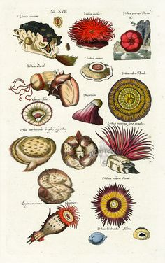 Sea Urchin - Historia Naturalis de Piscibus et Cetis, Libri V, published in 1657. This work by John Johnston and engraved by Matthaus Merian was much read in the 17th & 18th centuries....