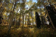 Na verdade é um conjunto de árvores todas todas originadas de um único exemplar Populus tremuloides. Estima-se que coletivamente o Pando pesa cerca de 6000 toneladas. Pode ser considerada uma das árvores e também ser vivo mais antigo do mundo.A colônia clonal abrange 43 hectares e tem cerca de 47.000 hastes, que morrem e são continuamente renovadas por suas raízes. Muitas das hastes são conectadas por seu sistema radicular. A média de idade dos troncos do Pando é de 130 anos, como decifrado…