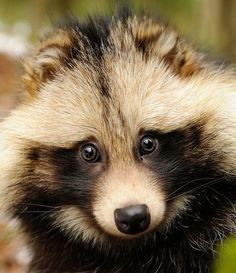 "Native to East Asia, raccoon dogs (also known as a ""tanuki"") are frequently misunderstood animals that serve as major cultural icons in Japan."