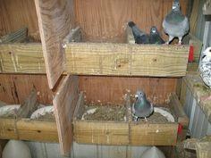 Raising Pigeons/Pigeon Coop