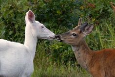 Mama Blue Eyes kissing her fawn