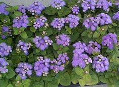 Ageratum – Ageratum is known to produce several small flowers that appear fuzzy. These flowers contain coumarin that keeps mosquitoes away. It is also used as a major ingredient in several mosquito repellents. However, it should not be applied directly to skin as the raw form may cause irritations. So, it is best to have this plant rooted to the ground. Ageratum is a bedding flower, and it grows well in pots, flower beds and rock garden.