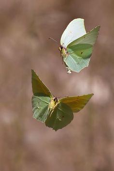 Papillon Citron / butterfly Cleopatra (appear as falling leaves) Beautiful Bugs, Beautiful Butterflies, Amazing Nature, Beautiful Creatures, Animals Beautiful, Cute Animals, Moth Caterpillar, Chenille, Tier Fotos