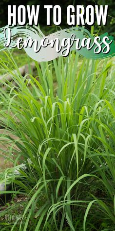 Growing lemongrass is easy. As in really easy — and a lemongrass plant is a pretty addition to gardens, too. Lemongrass is an herb commonly grown in tropical regions. Its strong lemon flavor is a common ingredient in Asian foods, and is used to give soups, stir fries, and tea a little extra zing. Backyard Vegetable Gardens, Garden Plants, Gardening Hacks, Container Gardening, Amazing Gardens, Beautiful Gardens, Grow Lemongrass, Homestead Gardens, Florida Gardening