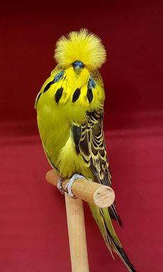 What a cute parakeet! Rare Birds, Exotic Birds, Colorful Birds, Most Beautiful Birds, Pretty Birds, Beautiful Creatures, Animals Beautiful, English Budgie, World Birds